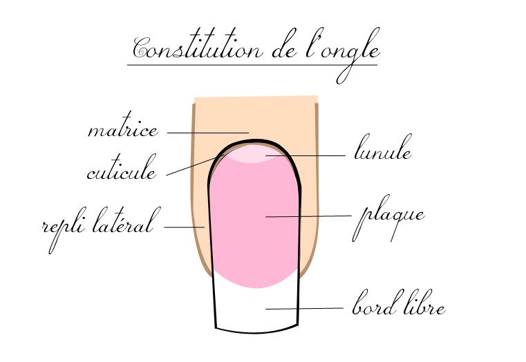 Pour commencer, voici un petit schéma de l'anatomie de l'ongle